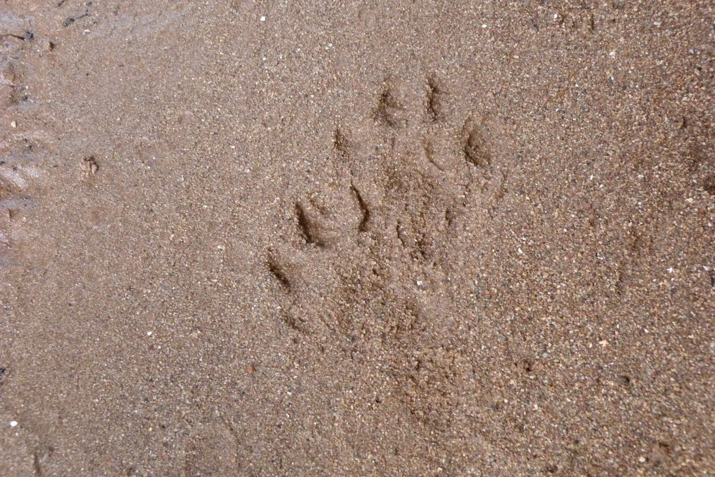 Two otter paw prints close together