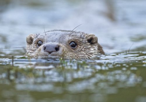 A Quiet Celebration of Otters!