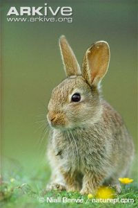 Juvenile-rabbit