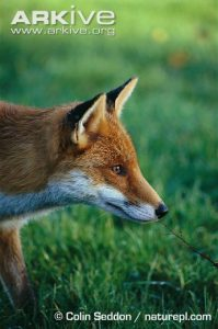 red-fox-side-profile