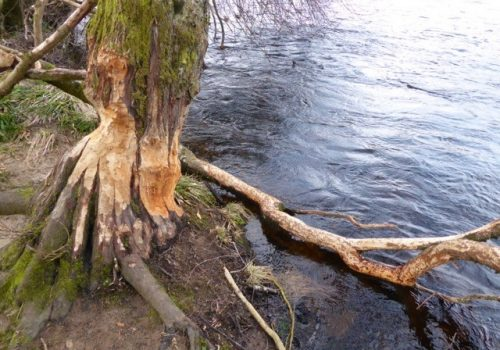 Beaver thrills by the River Tay